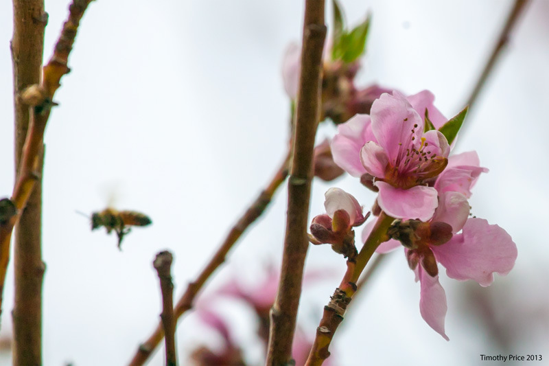 HoneyBeeBlossom