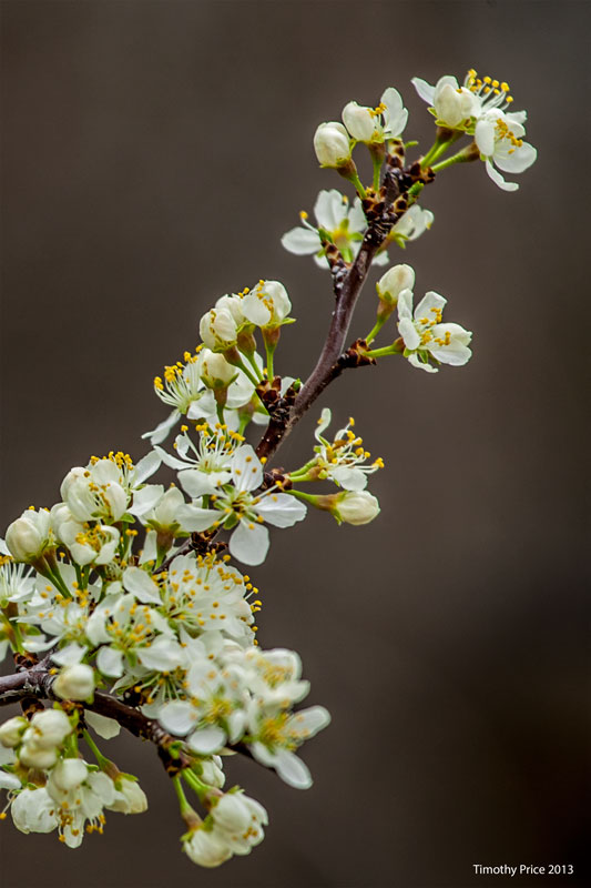 PlumBlossoms