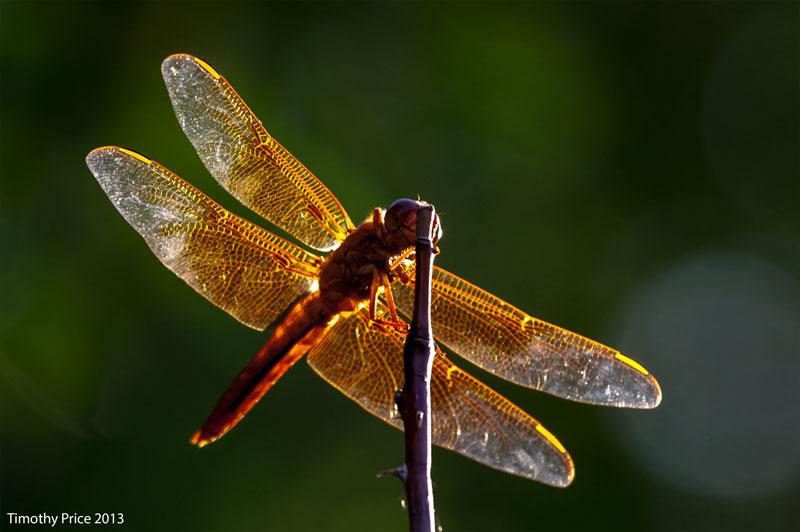 RedDrangonfly