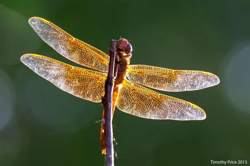 RedDrangonfly1