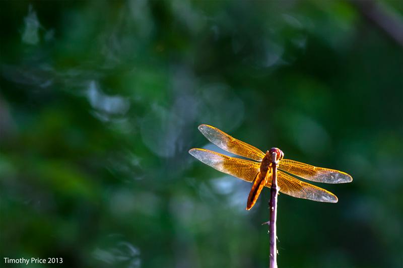 RedDrangonfly2