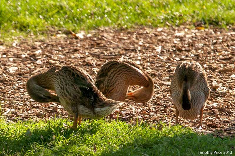 DucklingsPreening