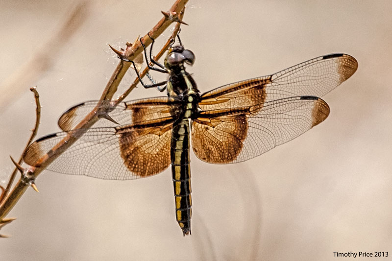 YellowBrownDragonfly