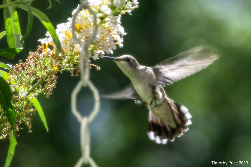 HummingBirdFlight