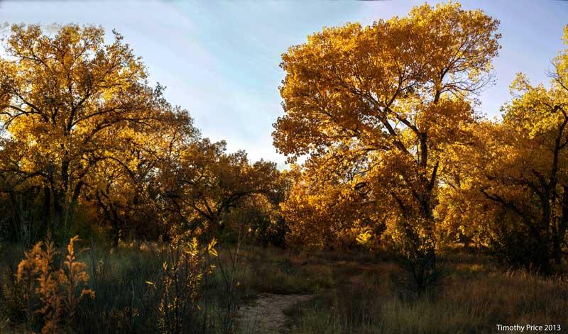 GoldenCottonwoods