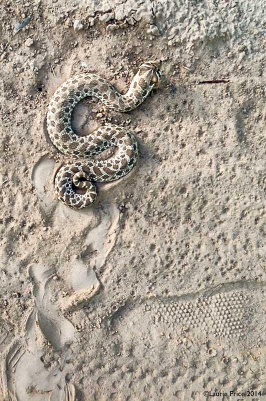 hognose_snake