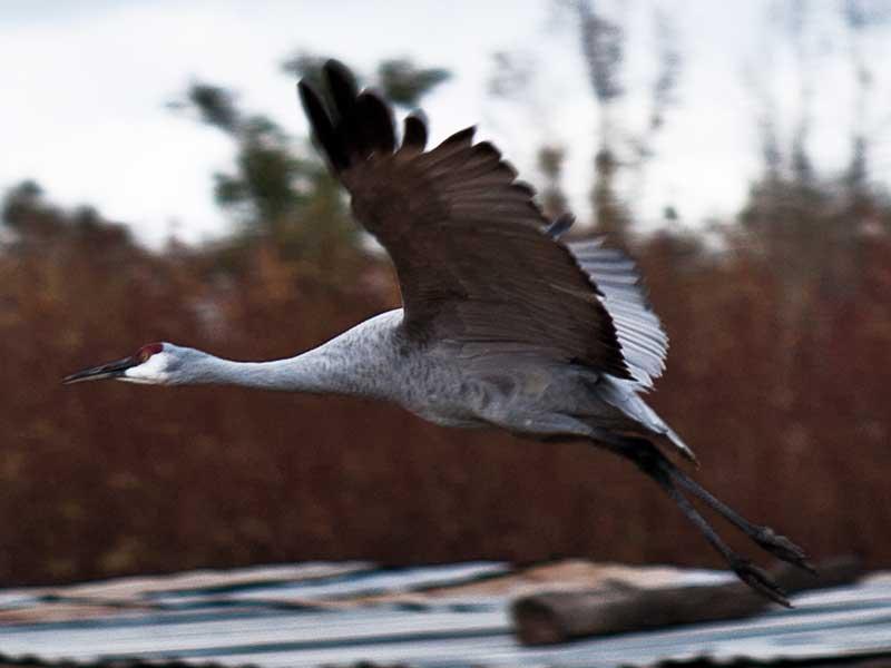 craneflying