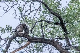 5) Owlets hugging after getting back together in the bosque.